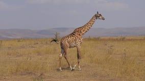 La jirafa sola que los soportes entonces pasan a Sun chamuscó la sabana del africano de la hierba almacen de video