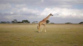 La jirafa va a través del campo en la sabana del coto africano metrajes