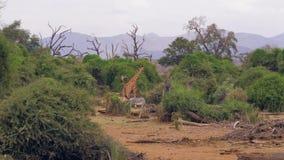 La jirafa y la cebra pastan follaje verde en los arbustos de la sabana africana metrajes