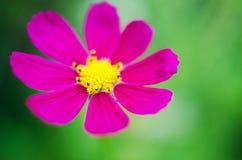 La jolie fleur de Kosmeya aiment Photographie stock libre de droits