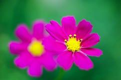 La jolie fleur de Kosmeya aiment Images stock