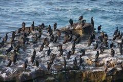 La Jolla bird rockery Stock Image