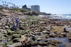 California Sea Lions Zalophus Californianus in La Jolla Stock Photo