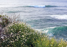 La Jolla Cove, San Diego. Daisies are blooming by La Jolla Coast at San Diego, California stock images