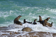 La Jolla Cove Sea Lions Royalty Free Stock Photos