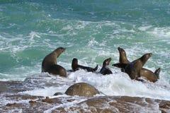La Jolla Cove Sea Lions. Sea lions brave the waves crashing on the rocks in La Jolla Cove, La Jolla, California Royalty Free Stock Photos