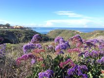 La Jolla Spring Blooming, purple Limonium flowers. The flowers of limonium are blooming when spring comes to San Diego in La Jolla Cove royalty free stock images