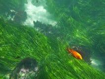 La Jolla Underwater. California sea grass and a orange Garibaldi fish at La Jolla Cove stock image
