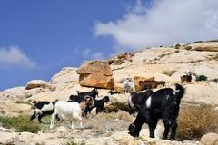 La Jordanie, Moyen-Orient, chèvres sur des roches photographie stock