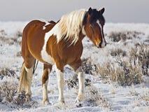 La jument de cheval sauvage appelée marche en avant photographie stock libre de droits