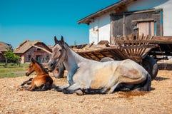 La jument et le poulain adultes sont au sujet des chariots un jour ensoleillé Image stock