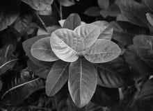 La jungle laisse l'été teinté dans noir et blanc Photo stock