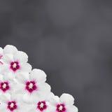 La ketmie blanche fleurit, ketmie rosa-sinensis, Chinois de ketmie, connu sous le nom de mauve rose, fond noir de texture, fin  Image stock