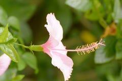 La ketmie est un genre des centrales fleurissantes dans la famille de mauve, malvaceae Photo stock