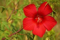 La ketmie syrienne, fleur de jardin Photo libre de droits