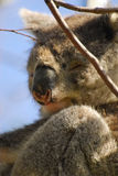 La Koala-Australie Photo stock