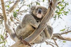 La koala que se aferra en una alta rama mira abajo con un ojo abierto y uno cerrado, isla del canguro, Australia meridional imágenes de archivo libres de regalías