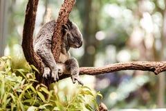 La koala riguarda un albero Fotografia Stock