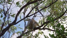 La koala salta en una rama de árbol almacen de video