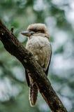 La kookaburra Fotografia Stock