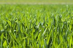 La lámina de la hierba verde imagen de archivo