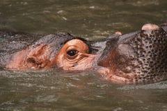 La La La. A hippopotamus having an afternoon dip in the water Stock Photos