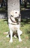 La labradorita sonriente de Labrador del labrador retriever también para un paseo mira en el marco Retrato de una hierba verde de Fotografía de archivo