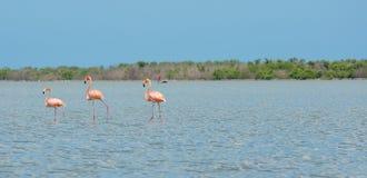 La Laguna del por del caminando de los rosados de los flamencos Fotos de archivo libres de regalías