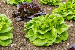 La laitue de feuille verte et pourpre plante l'élevage dans le jardin Photos stock