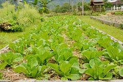 la laitue de feuille verte fraîche plante l'élevage dans le jardin Photo libre de droits