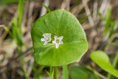 La laitue du mineur, pourpier d'hiver ou perfoliata de Claytonia de laitue indienne, la Californie image libre de droits