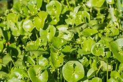 La laitue du mineur, pourpier d'hiver ou perfoliata de Claytonia de laitue indienne s'élevant sur un pré, la Californie photographie stock