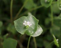 La laitue du mineur, pourpier d'hiver, perfoliata de Claytonia Vous pouvez les employer en salades de légume frais Le pourpier d' image stock