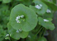 La laitue du mineur, pourpier d'hiver, perfoliata de Claytonia Vous pouvez les employer en salades de l?gume frais Le pourpier d' photographie stock