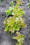 La laitue fraîche part dans le jardin, fin  photos libres de droits