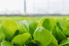 La laitue verte plante le fond végétal Ferme de laitue photos stock