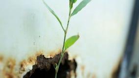 La lama di erba ha germogliato da un foro arrugginito nella parte posteriore di un'automobile bianca pompa video d archivio
