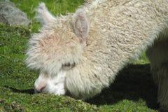 La lama mangia l'erba Immagine Stock Libera da Diritti