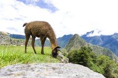 La lama marrone sveglia sulle rovine di Machu Picchu ha perso la città nel Perù Immagine Stock
