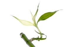 La lame en bambou neuve se développe Photographie stock libre de droits