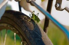 La langosta verde grande se sienta en una rueda de bicicleta, langosta se sienta en un neumático de la bicicleta Fotos de archivo