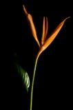 La langoustine s'arrêtante griffe la fleur Images libres de droits