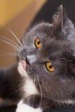 La langue du chat Photos stock
