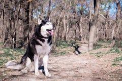 La langue enrouée drôle de rires et d'expositions de chien, un chien adroit avec des yeux fermés, un un Malamute heureux se repos photos stock