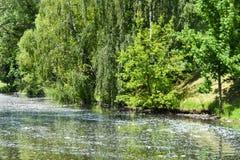 La lanugine del pioppo dagli alberi nella città vola attraverso l'aria, galleggia nel fiume e causa l'allergia in esseri umani immagini stock