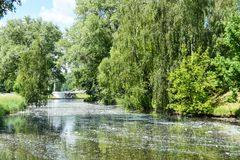 La lanugine del pioppo dagli alberi nella città vola attraverso l'aria, galleggia nel fiume e causa l'allergia in esseri umani fotografia stock