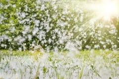 La lanugine del pioppo si trova nell'erba verde e nelle mosche attraverso l'aria nei raggi di luce solare Fuoco molle selettivo F immagini stock libere da diritti