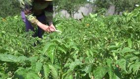 La larva del escarabajo de la patata en las plantas de patata y la mujer del granjero trabajan 4K almacen de video