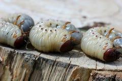 La larva del puede escarabajo Fotografía de archivo