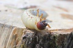 La larva del puede escarabajo Fotos de archivo libres de regalías